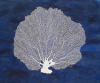 Sea Fan Blue